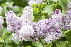丁香或紫丁香属植物寻常的L 花 免版税库存图片