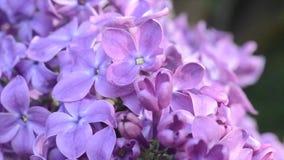 丁香柔和的轻的花在春天庭院里 股票视频