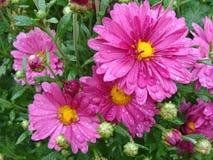 丁香桃红色菊花花在雨以后的 免版税库存图片