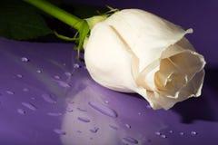 丁香玫瑰白色 库存图片