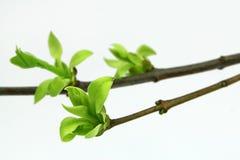 在淡紫色植物的枝杈的绿色芽 免版税库存图片