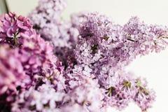 丁香紫色花卉纹理在白色背景的 库存照片