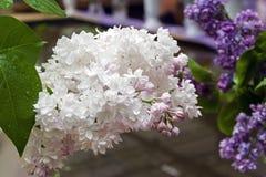 丁香美丽的花束 免版税库存图片