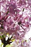 丁香,紫丁香属植物 库存照片