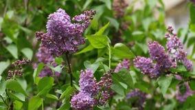 丁香 丁香或注射器有野生鸟歌曲的  有绿色叶子的五颜六色的紫色丁香开花 蝴蝶下落花卉花重点模式黄色 股票视频