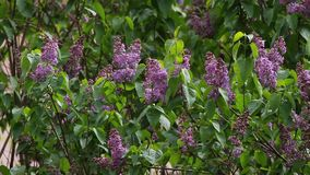 丁香 丁香或注射器有野生鸟歌曲的  有绿色叶子的五颜六色的紫色丁香开花 蝴蝶下落花卉花重点模式黄色 淡紫色backgr 股票视频