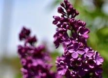 丁香-寻常的紫丁香属植物 免版税图库摄影