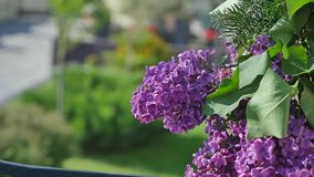 丁香绽放 二重开花的丁香 风摇动与美丽的花的分支 股票视频