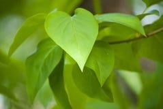 丁香绿色叶子 免版税库存照片