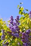 丁香-紫丁香属植物花 免版税库存图片