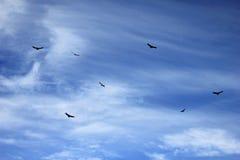 七个安第斯秃鹰腾飞 免版税库存图片