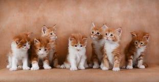 七只姜小猫坐米黄背景 免版税库存图片