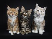七只缅因树狸猫行在黑色的 免版税图库摄影