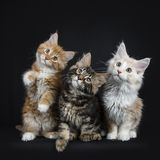 七只缅因树狸猫行在黑色的 免版税库存图片