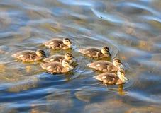 七只鸭子 免版税库存照片