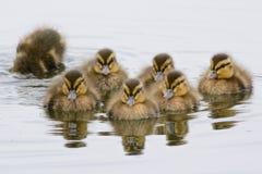 七只鸭子 库存照片