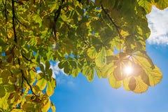 七叶树和太阳射线 库存照片