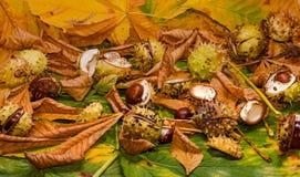 七叶树果实和叶子 免版税库存图片
