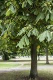 七叶树果实树在公园 免版税图库摄影