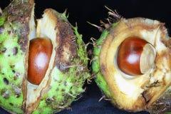 七叶树果实,里面分裂开放reveiling的栗子 库存照片