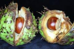 七叶树果实,里面分裂开放reveiling的栗子 免版税库存图片