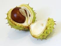 七叶树果实 免版税库存图片