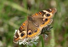 七叶树蝴蝶的特写镜头 免版税库存照片
