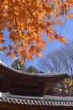 七有裂片的枫叶寺庙背景 图库摄影