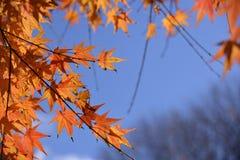 七有裂片的枫叶 免版税库存图片