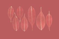 七片被概略记述的叶子榕属(榕属benjamina) 免版税库存照片