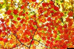 七片角度槭树叶子 库存图片