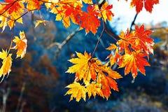 七片角度金黄槭树叶子 图库摄影