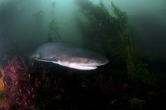 七片鳃鲨鱼 免版税图库摄影