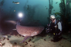 七片鳃鲨鱼 库存照片
