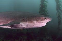 七片鳃鲨鱼 免版税库存图片