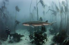 七片鳃鲨鱼 免版税库存照片
