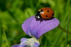 七被察觉的瓢虫- Coccinella septempunctata 免版税库存图片