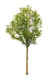 七页树属结构树 免版税库存图片