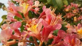 七页树属Hippocastanum与桃红色开花的欧洲七叶树 库存照片