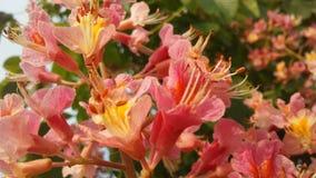 七页树属Hippocastanum与桃红色开花的欧洲七叶树 免版税库存照片