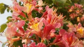 七页树属Hippocastanum与桃红色开花的欧洲七叶树 免版税库存图片