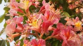 七页树属Hippocastanum与桃红色开花的欧洲七叶树 图库摄影
