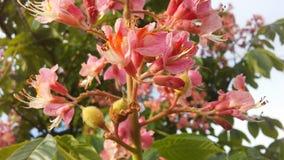 七页树属Hippocastanum & x28; 马Chestnut& x29;桃红色开花和小新形成的绿色种子 库存照片