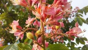 七页树属Hippocastanum & x28; 马Chestnut& x29;桃红色开花和小新形成的绿色种子 图库摄影