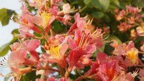 七页树属Hippocastanum & x28; 马Chestnut& x29;桃红色开花和小新形成的绿色种子 免版税库存照片