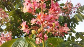 七页树属Hippocastanum & x28; 马Chestnut& x29;桃红色开花和小新形成的绿色种子 库存图片