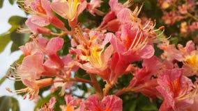 七页树属Hippocastanum & x28; 马Chestnut& x29;使用桃红色开花 库存照片