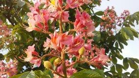 七页树属Hippocastanum & x28; 马Chestnut& x29;桃红色开花和小新形成的绿色种子 免版税图库摄影