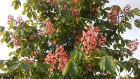 七页树属Hippocastanum & x28; 马Chestnut& x29;桃红色开花和小新形成的绿色种子 免版税库存图片