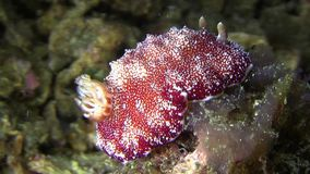 七高八低的mexichromis Mexichromis multituberculata nudibranch 股票视频